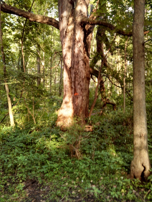 A.J. Lane's entry. It is an Acacia tree. He's sure it is a winner.