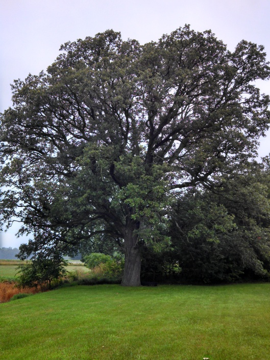 Could anyone in New Paris possibly know where a bigger tree than this one on Ronald Payette's property?