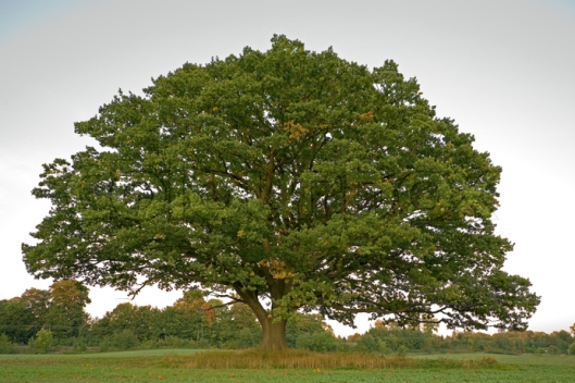 A white oak tree very much like the one that is New Paris' oldest tree.